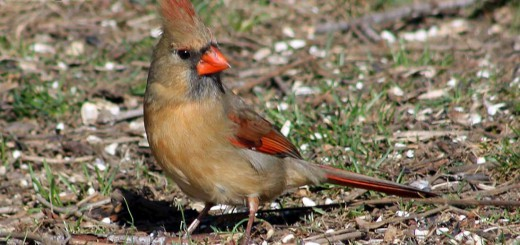 cardinall-b001