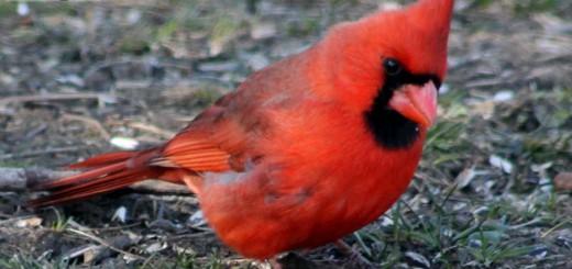 cardinall-b002