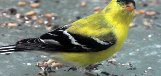 goldfinch-b001