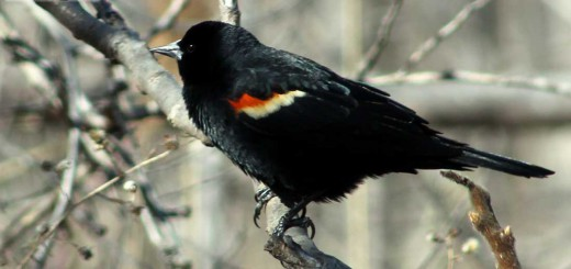 red-winged-b001
