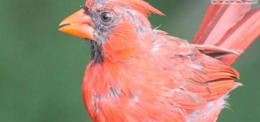 cardinal-b003