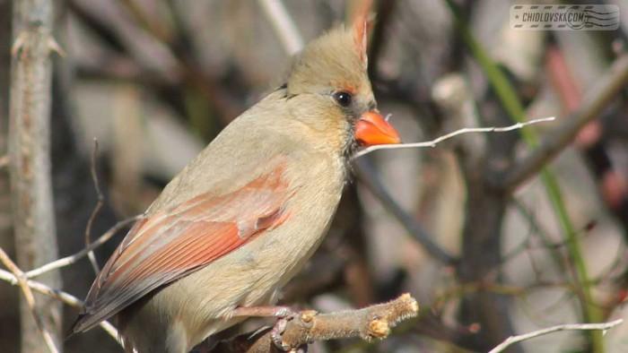 cardinall-b004