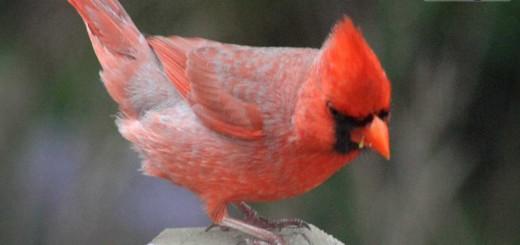 cardinall-b006