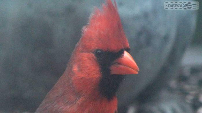 cardinall-b007