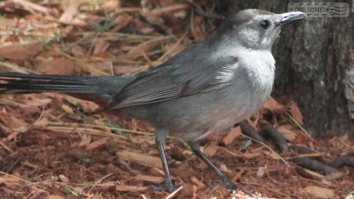 catbird-b001