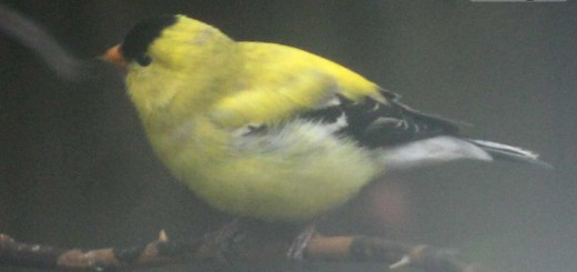 goldfinch-b003