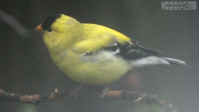 goldfinch-b003