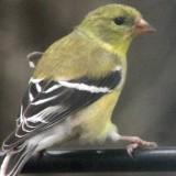 goldfinch-b005