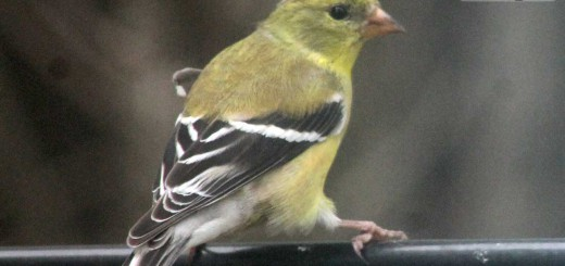 goldfinch-b005