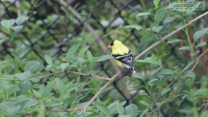 goldfinch-b006