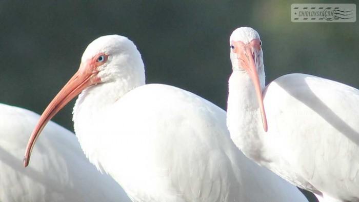 ibis-b001
