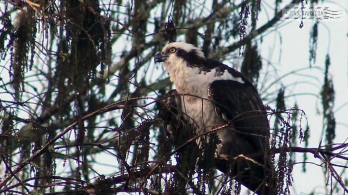 osprey-b001