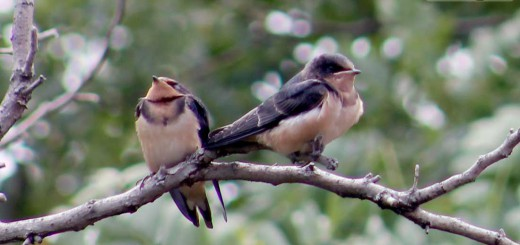 barn-swallow-b002