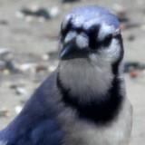 bluejay-b003