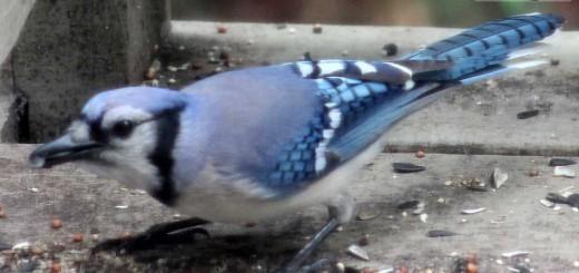 bluejay-b004