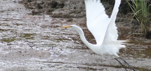great-egret-b001