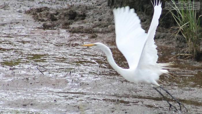 great-egret-b001
