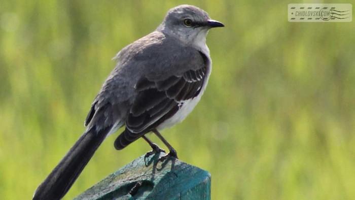 mockingbird-b001