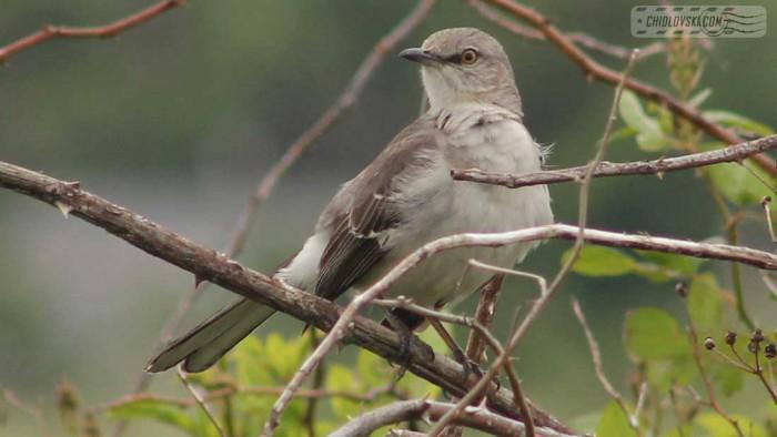 mockingbird-b002
