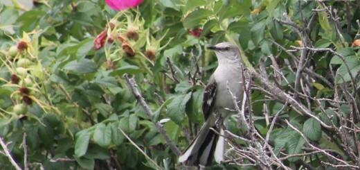 mockingbird-b003