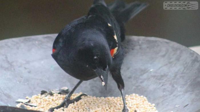 rwblackbird-b001