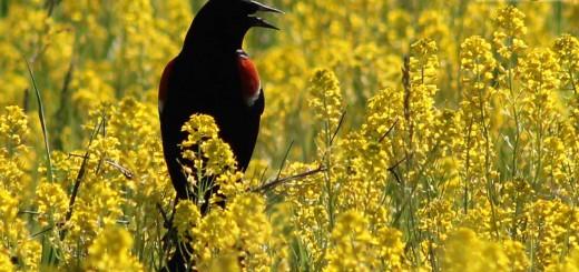 rwblackbird-b002jpg