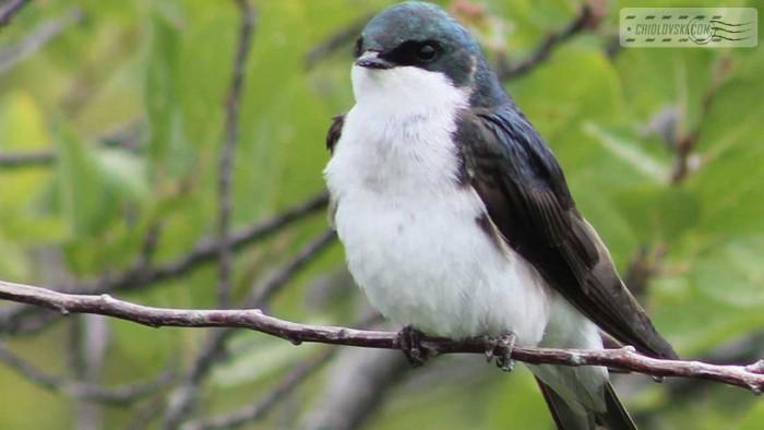 treeswallow-b001