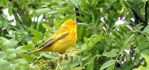 yellow-warbler-b001