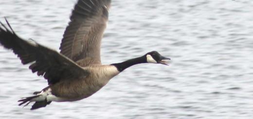 canada-goose-b001