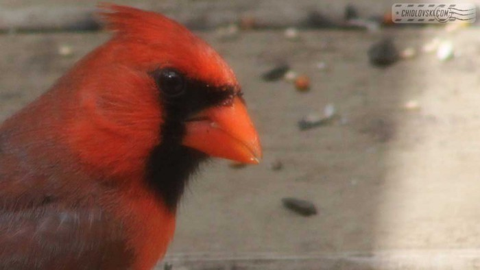 cardinall-b008
