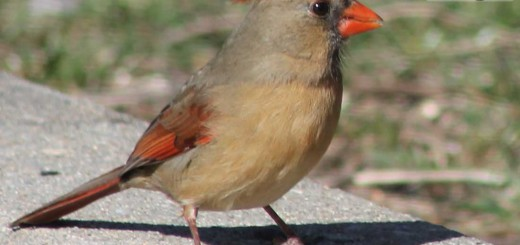 cardinall-b009
