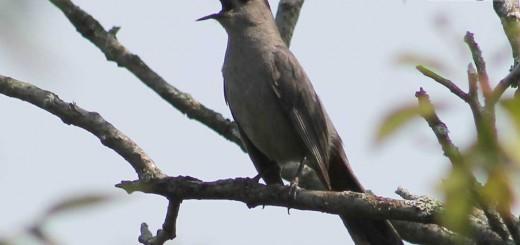 catbird-b004