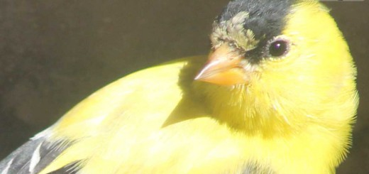 goldfinch-b008
