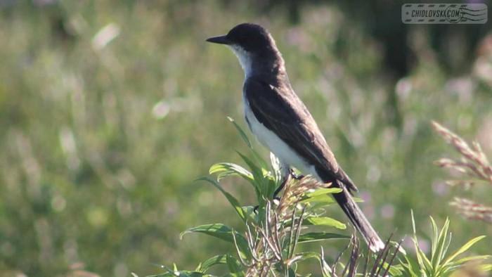 kingbird-b003