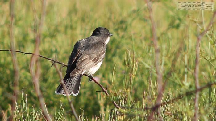 kingbird-b004