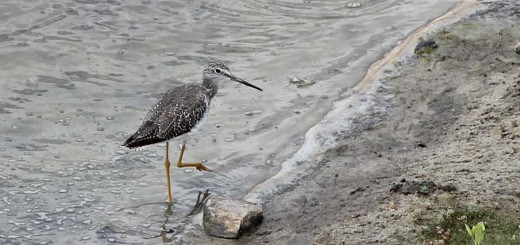 lesser-yellowlegs-b001