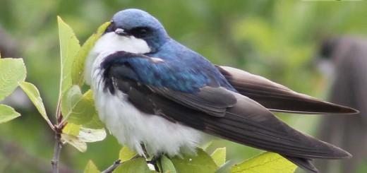 tree-swallow-b002