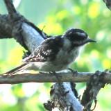 woodpecker-b001