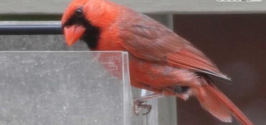 cardinal-b010