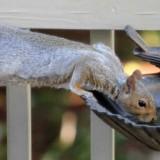 squirrel-b101