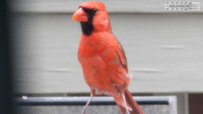 cardinal-b011