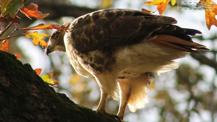 red-tailed-hawk-b001