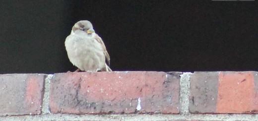 sparrow-mah