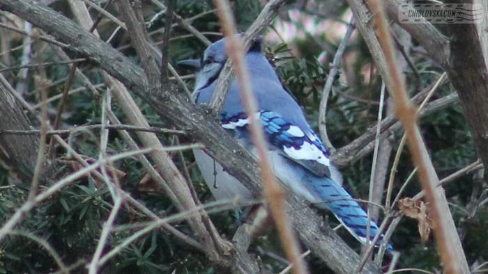 blue-jay-b001