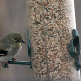 goldfinches-b001