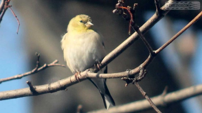 goldfinches-b002