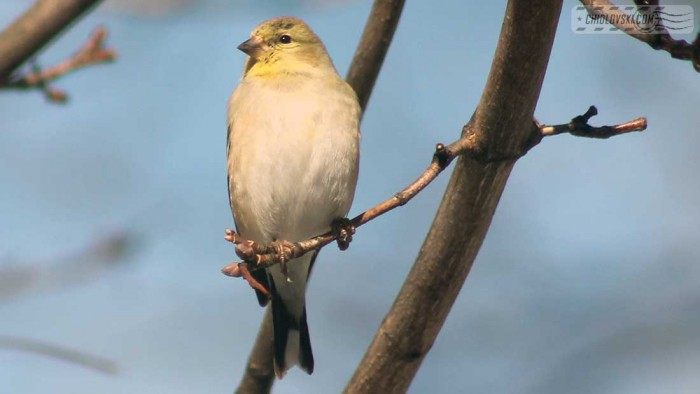 goldfinches-b003