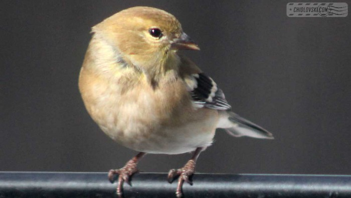 goldfinches-b005