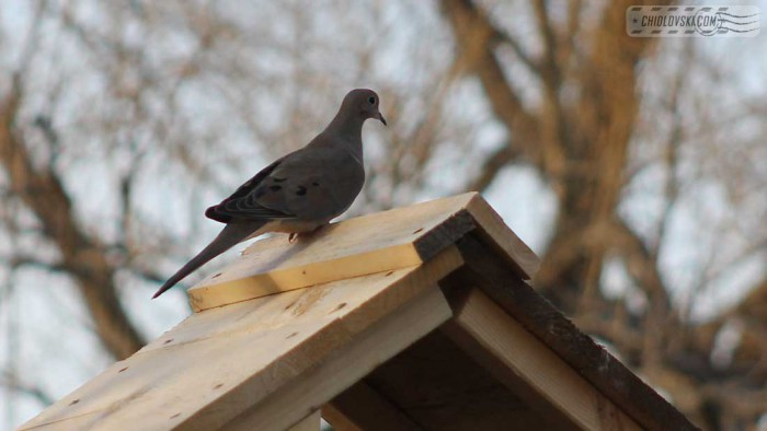 mourning-dove-b001
