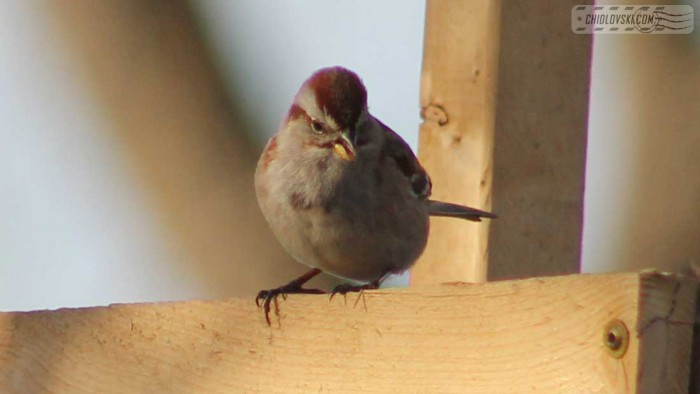 tree-sparrow-b001